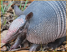 armadillo trapping in new orleans