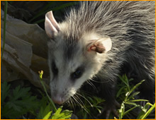 opossum holes in lawn