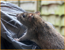 rodent control program in wye mills, md