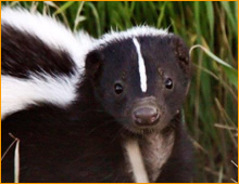 skunk removal Danbury